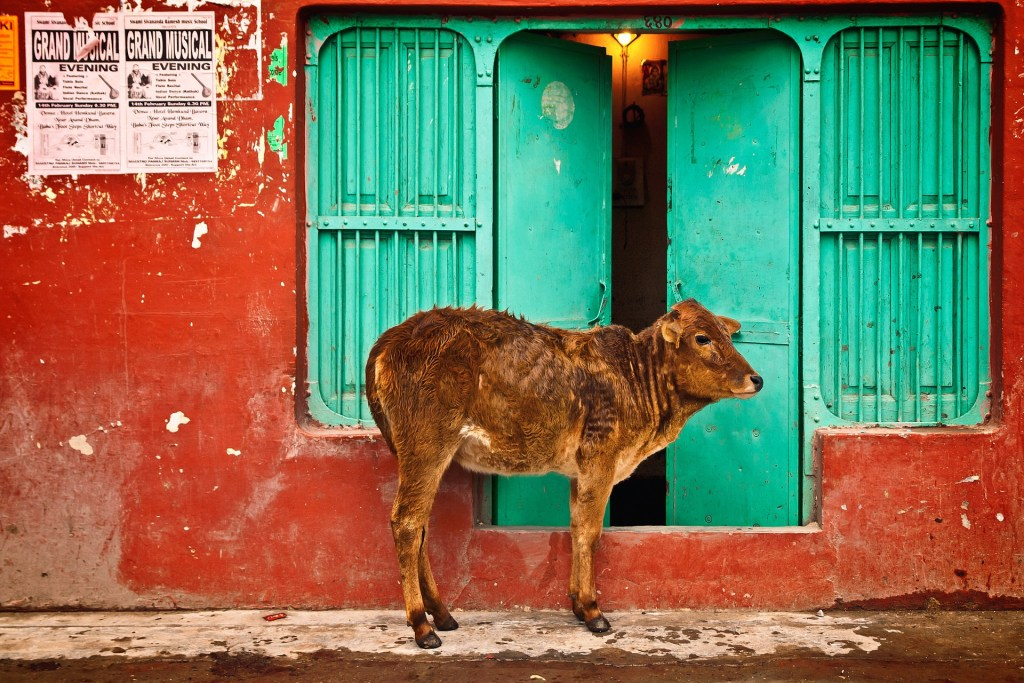cow standing near a house.